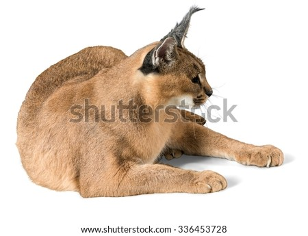 Caracal Lying Down - Isolated - stock photo