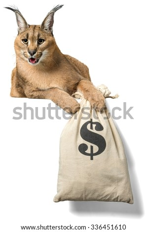 Caracal Lying Down with a Money Bag - Isolated - stock photo