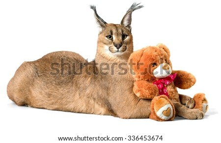 Caracal Lying Down with a Stuffed Toy - Isolated - stock photo