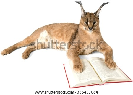 Caracal Lying Down with Open Book - Isolated - stock photo