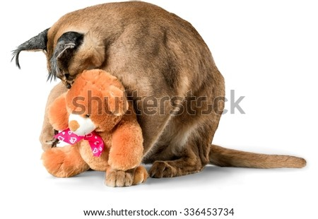 Caracal Sitting with a Stuffed Toy - Isolated - stock photo