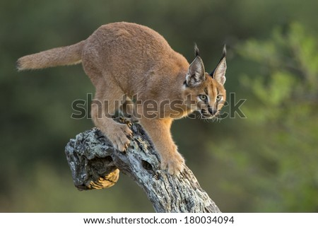 Caracal walking down tree in afternoon sun South Africa