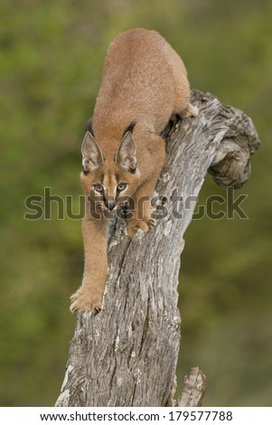 Caracal walking down tree South Africa - stock photo