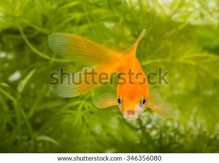 Carassius auratus auratus  - gold fish -  aquarium fish - stock photo