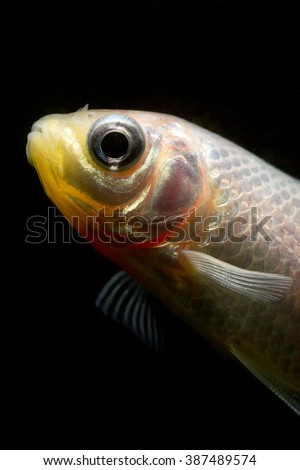 Carassius auratus the very most popular and best seller of the aquarium and pond fish. The goldfish is widespread and is easy found in pet shops.