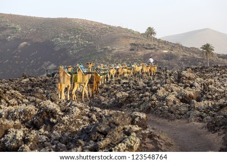 caravan of camels in sunset returning home in the stable at Timanfaya national park - stock photo