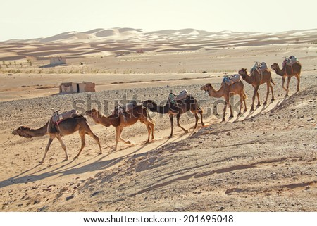 Caravan of camels in the sandy desert in Erg Chebbi, Morocco - stock photo