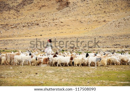 Caravan of goat in Ladakh, India