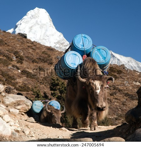 caravan of yaks with goods (barrels) on the way to mount Everest base camp with mount Ama Dablam - nepal - stock photo