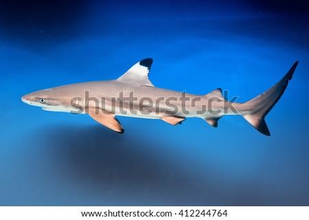Carcharhinus melanopterus -  blacktip reef shark - saltwater fish - stock photo