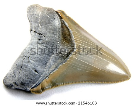 Carcharocles chubutensis (now starting to resemble teeth from Megalodon) 14 million years old Collected from Aurora, North Carolina - stock photo