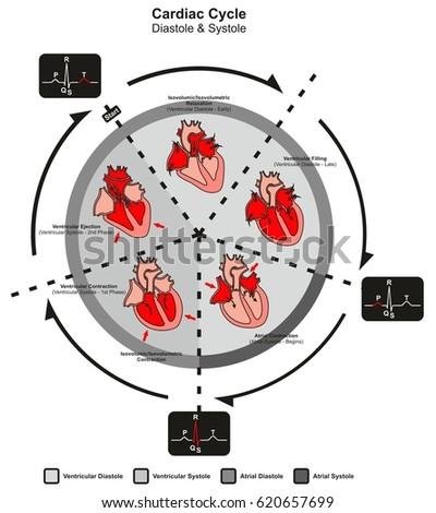 Cardiac Cycle Diastole Systole Human Heart Stock Illustration