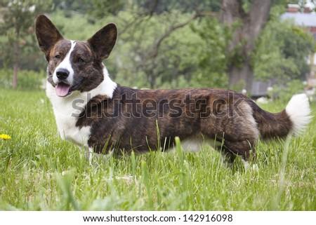 Cardigan Corgi on the grass - stock photo