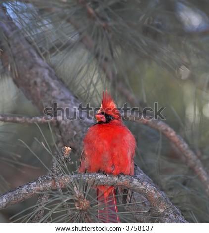 Cardinal - stock photo