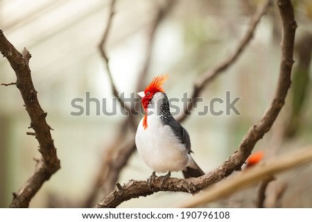 Cardinal bird with red-crested or Paroaria Coronata