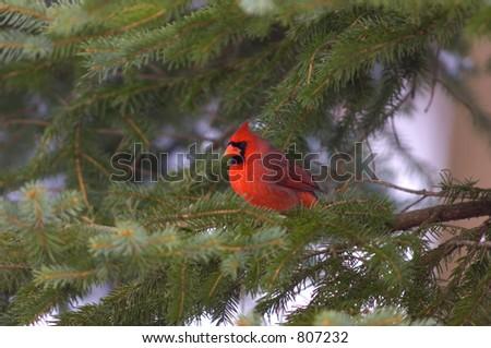 Cardenal del Norte - Introducción   Aves de América del Norte en línea
