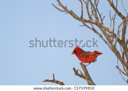 Cardinal perched on tree branch, spring time, Fort Myers, Florida. State bird of Illinois, Indiana, Kentucky, North Carolina, Ohio, Virginia and West Virginia  - stock photo