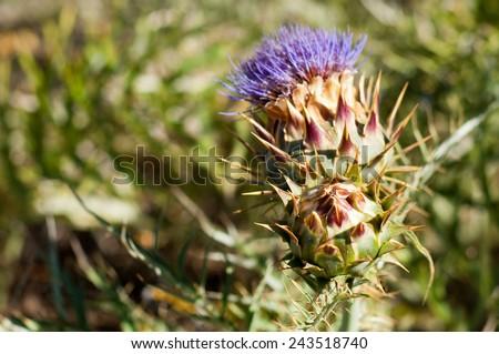 cardo flower - stock photo
