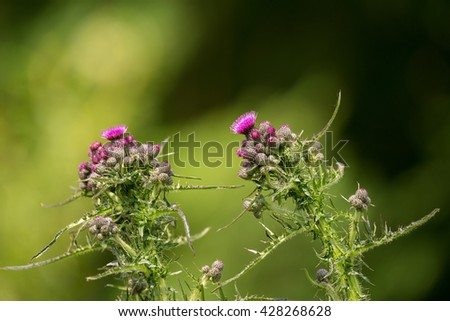 Carduus acanthoides, Purple thistle in green meadow with shallow focus. Natural spring background - stock photo