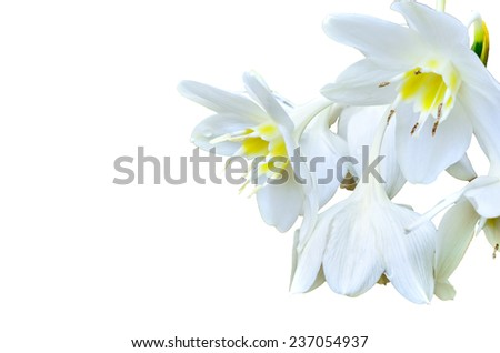 Cardwell Lily on white background