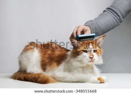 Care Maine Coon cat, combing hair brush for animals. Man's hand. - stock photo