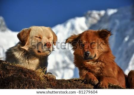 Carefree Himalayan dogs - stock photo