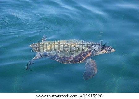 Caretta caretta loggerhead sea turtle in natural habitat. Endangered animal species.