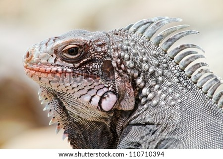 Caribbean Iguana - stock photo