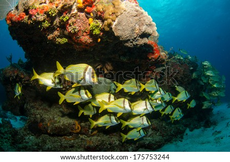 caribbean porkfish - stock photo