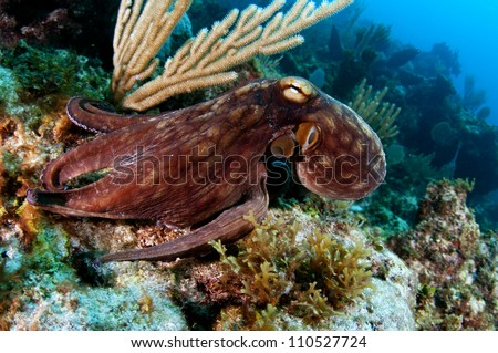 Caribbean Reef Octopus - stock photo