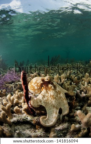 Caribbean reef octopus in the Bahamas - stock photo