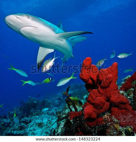 Caribbean reef shark and coral reef - stock photo