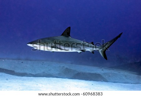 caribbean reef shark at the site of a shipwreck - stock photo