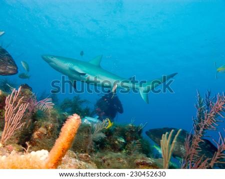 Caribbean reef shark (Carcharhinus perezi) - stock photo