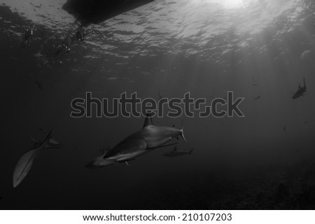 Caribbean reef shark curious under diving boat