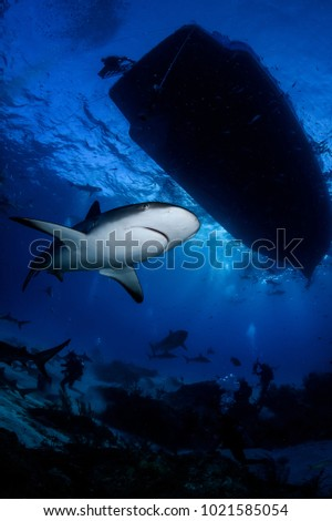Caribbean Reef Shark Gliding through Open Waters of Bahamas