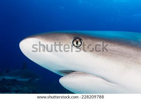 Caribbean reef shark head - stock photo