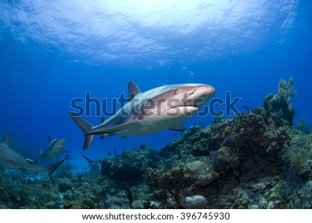Caribbean reef shark in clear blue water above colorful reef and corals. - stock photo