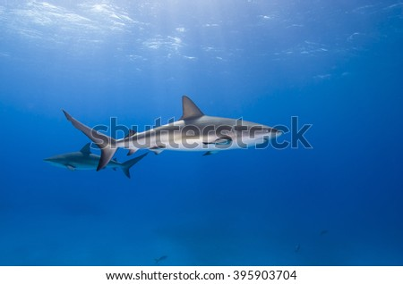 Caribbean reef shark in clear blue water with other sharks and sun in the background.