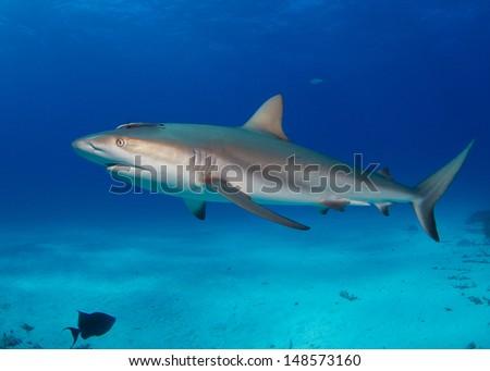 Caribbean Reef Shark in the Bahamas - stock photo
