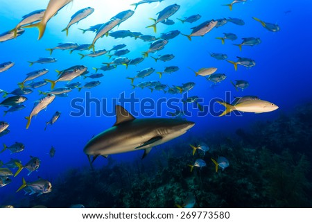 Caribbean reef shark surrounded by jack fish and snapper with sunbeam in background, Freeport, Bahamas - stock photo