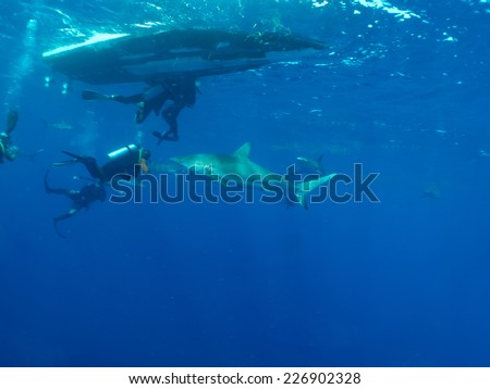 Caribbean reef sharks (Carcharhinus perezi) and aqualungers