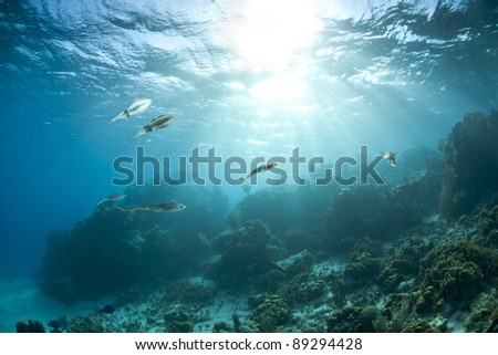 Caribbean Reef Squid (Sepioteuthis sepioidea), school hovering over a tropical coral reef off the island of Roatan, Honduras with the sun beaming through the water.