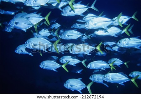 Caribbean Sea, Belize, U.W. photo, a school of Jacks (Caranx lugubris) -  - stock photo