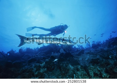 Caribbean Sea, Cayman Islands, U.W. photo, diver and a Great Barracuda - FILM SCAN - stock photo