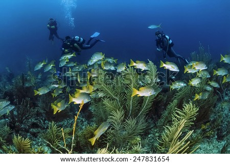 Caribbean Sea, Cuba, divers and a school of tropical grunts - FILM SCAN - stock photo