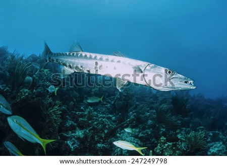 Caribbean Sea, Cuba, U.W. photo, great Barracuda (Sphyraena barracuda) - FILM SCAN - stock photo
