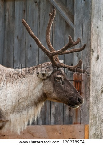Caribou head with nice antler, close up a - stock photo