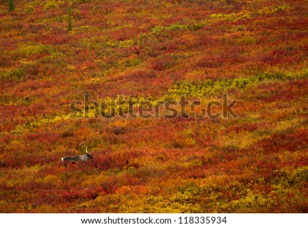 caribou in colorful tundra landscape - stock photo