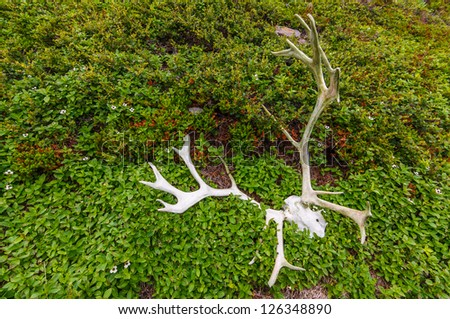 caribou reindeer scull and antlers lays on the grass. Kola Peninsula. Russia - stock photo